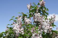 Розовая предпосылка неба цветка сирени Стоковое Изображение RF