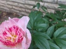 Розовая предпосылка пиона Стоковая Фотография