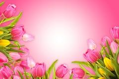 Розовая предпосылка поздравительной открытки с тюльпаном весны цветет стоковые фото