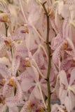 Розовая предпосылка свежего цветка орхидеи Стоковое Изображение