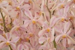 Розовая предпосылка свежего цветка орхидеи Стоковые Фотографии RF