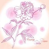 Розовая предпосылка с одним пионом Стоковое фото RF