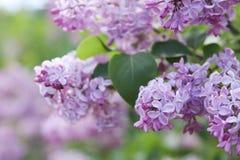 Розовая предпосылка цветка сирени Стоковые Фотографии RF