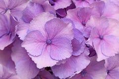 Розовая предпосылка Hortensia Стоковая Фотография RF