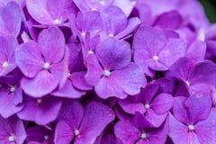 Розовая предпосылка Hortensia стоковое фото rf