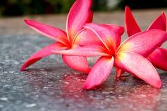 Розовая предпосылка 502 plumeria Стоковые Изображения