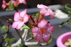 Розовая пустыня подняла Стоковое Фото
