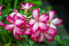 Розовая пустыня Роза или цветок лилии импалы Стоковое Изображение RF