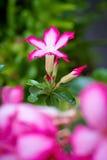 Розовая пустыня Роза или цветок лилии импалы Стоковые Изображения