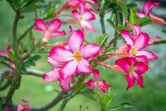 Розовая пустыня Роза или цветок лилии импалы Стоковые Изображения RF