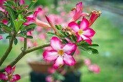 Розовая пустыня Роза или цветок лилии импалы Стоковые Фотографии RF