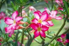Розовая пустыня Роза или цветок лилии импалы Стоковое Изображение