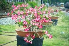 Розовая пустыня Роза или цветок лилии импалы Стоковая Фотография RF