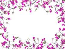 Розовая рамка цветка бугинвилии Стоковые Изображения RF