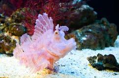 Розовая рыба коралла с большим глазом Стоковые Фото