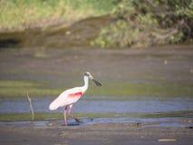 Розовая рыбная ловля колпицы в болоте Стоковая Фотография RF