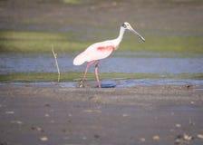 Розовая рыбная ловля колпицы в болоте Стоковые Изображения