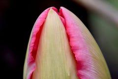 Розовая рябь 01 лепестка тюльпана Стоковое Изображение
