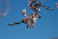 Розовая Сакура на голубом небе стоковая фотография rf