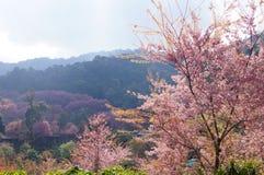 Розовая Сакура на горах Таиланда Стоковое фото RF