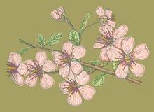 Розовая Сакура на зеленой предпосылке иллюстрация штока