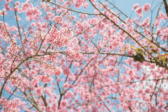 Розовая Сакура на Таиланде стоковое фото