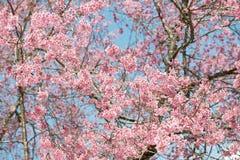 Розовая Сакура на Таиланде стоковая фотография