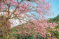 Розовая Сакура на Таиланде Стоковые Изображения