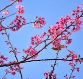 Розовая Сакура с предпосылкой голубого неба Стоковое Фото