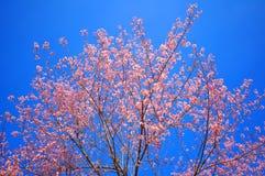 Розовая Сакура с предпосылкой голубого неба Стоковая Фотография RF