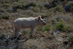 Розовая свинья в горах Греции Стоковые Фото
