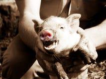 Розовая свинья Стоковое фото RF