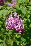 Розовая сирень Стоковое фото RF