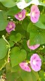 Розовая слава утра стоковые изображения rf