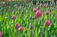 розовая солнечность преуспевет тюльпаны Стоковая Фотография RF