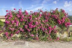 Розовая стена около Порту Azzurro, Эльбы, Тосканы, Италии Стоковые Фотографии RF