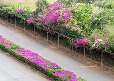 Розовая строка цветка бугинвилии Стоковые Изображения