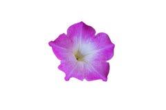 Розовая слава утра изолированная на белизне Стоковые Изображения RF