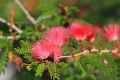 Розовая слойка порошка Стоковые Фото