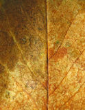 Розовая текстура лист Стоковая Фотография RF
