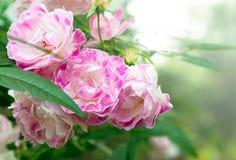 розовая фея подняла Стоковое Фото