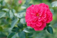 розовая фея подняла Стоковая Фотография RF