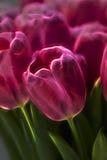 Розовая фракталь тюльпана Стоковые Изображения RF