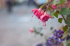 розовая фуксия в улице Стоковые Фото
