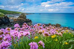 Розовая хозяйственность моря цветет на корнуольском побережье стоковые изображения
