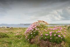 Розовая хозяйственность на скалистой поверхности стоковое изображение