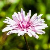 Розовая Хоук-борода стоковые изображения rf