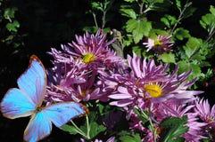 Розовая хризантема и голубая бабочка стоковая фотография rf