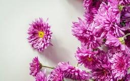 Розовая хризантема на белой предпосылке стоковые фотографии rf