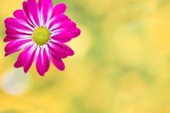 Розовая хризантема на желтых предпосылках стоковое фото rf